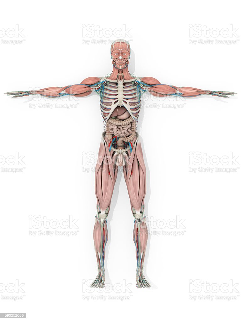 Human anatomy skeleton, vascular system medical illustration royalty-free stock photo