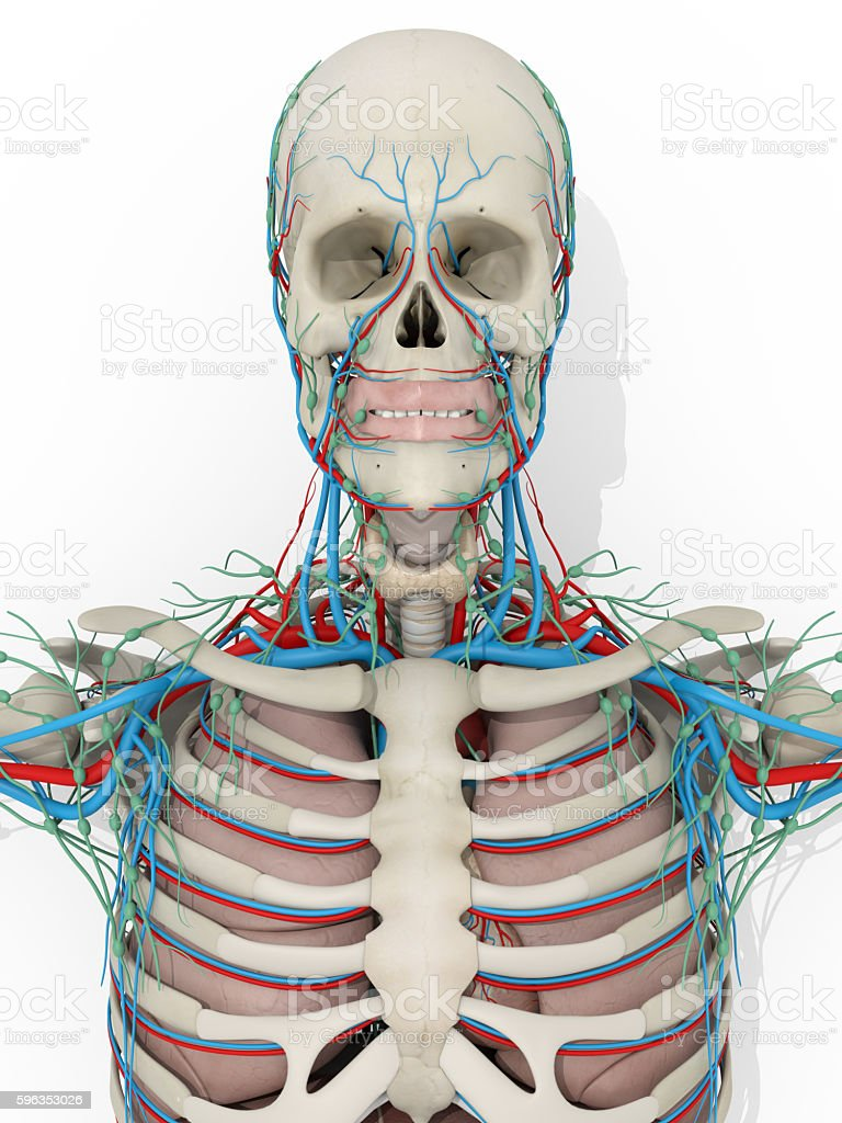 Human anatomy skeleton, vascular system medical illustration royalty-free stock photo