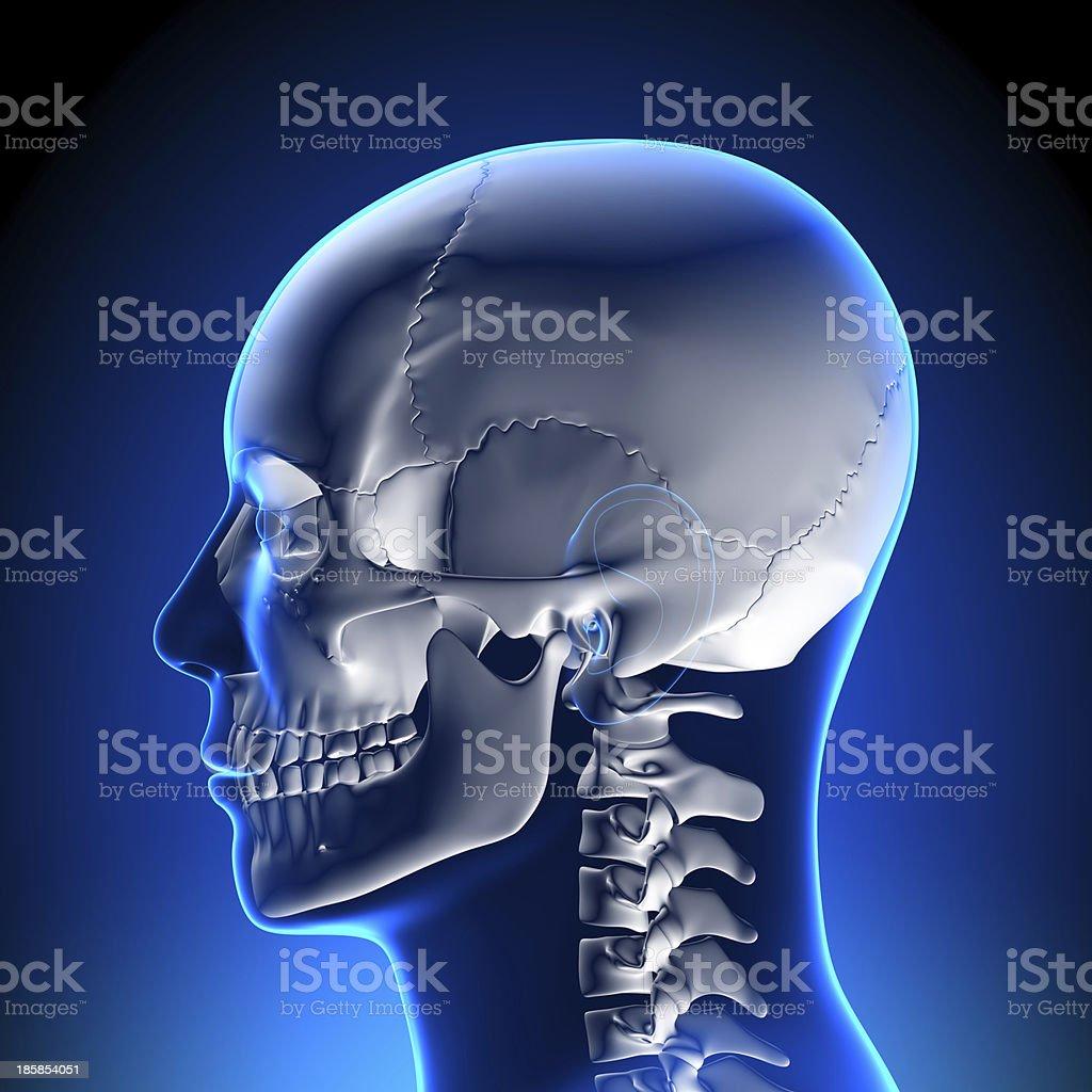 Fotografía de Anatomía Humana De Cráneo y más banco de imágenes de ...