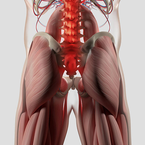 Royalty Free Gluteus Maximus Pictures, Images and Stock Photos - iStock
