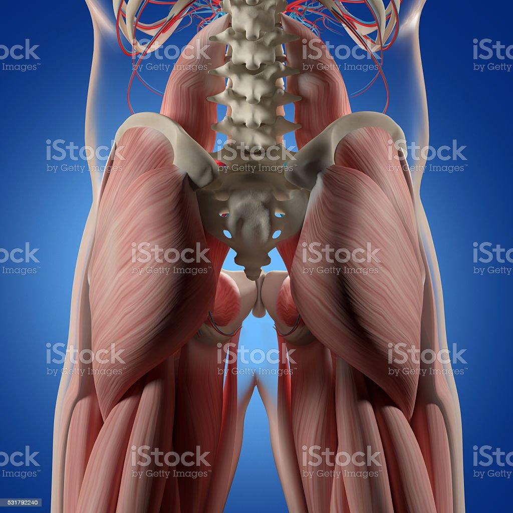 Menschliche Anatomie Rücken Hüfte Und Musculus Maximus Stock ...