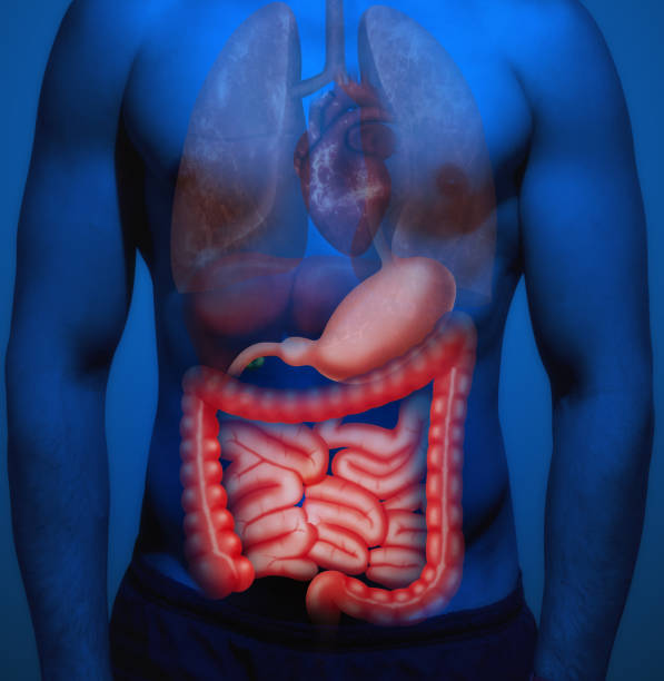 Royalty Free Human Large Intestine Pictures Images And Stock Photos