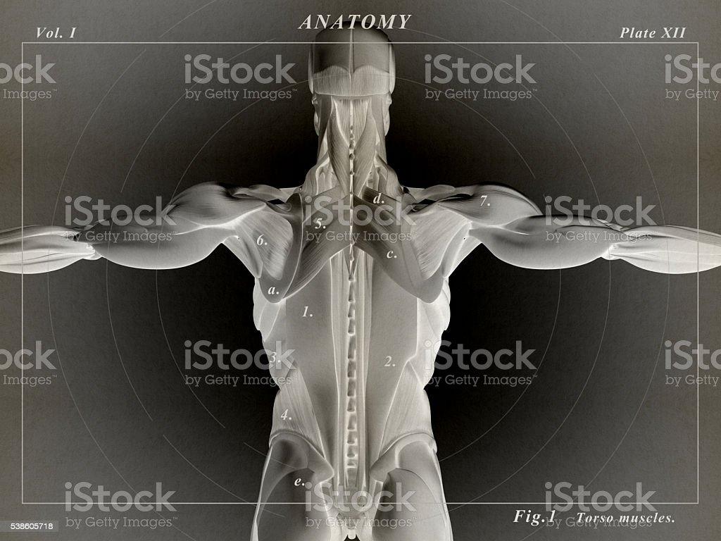 Human Anatomy Torso Back Muscles 3d Illustration Stock Photo & More ...