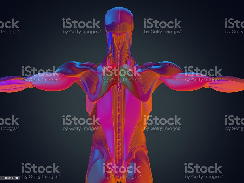 Human Anatomy Torso Back Muscles 3d Illustration Stock Photo More Diagram Royalty Free