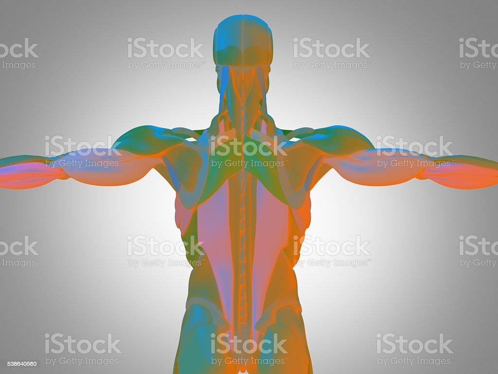 Human Anatomy Torso Back Muscles 3d Illustration Stock Photo More