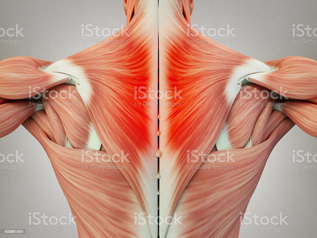 Human Anatomy Torso Back Muscles Pain 3d Illustration Stock Photo