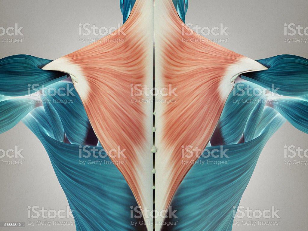 Human Anatomy Torso Back Muscles Pain 3d Illustration Stock
