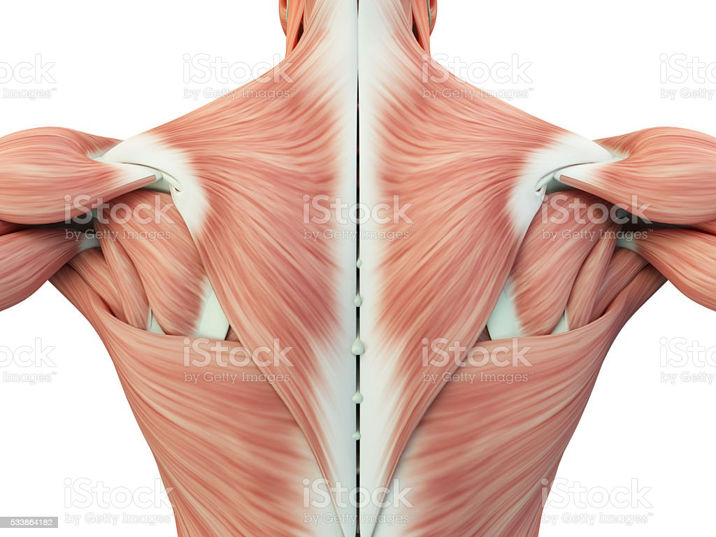 Human anatomy torso back muscles, pain. 3D Illustration. stock photo
