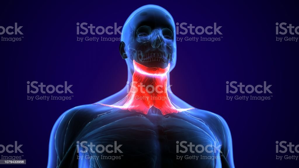 The human back is the large posterior area of the human body, rising...