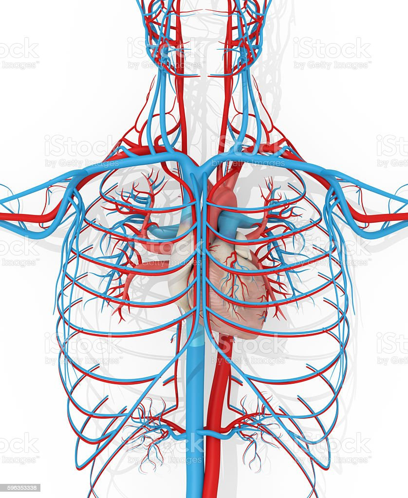 Human anatomy vascular system medical illustration stock photo