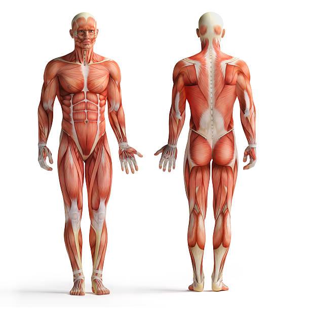 human anatomy view stock photo