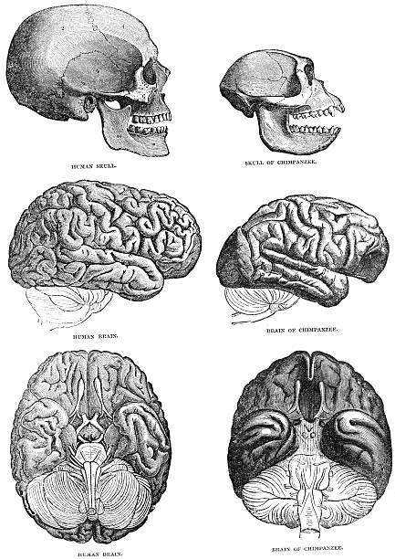 Human and Chimpazee Brain Comparison stock photo