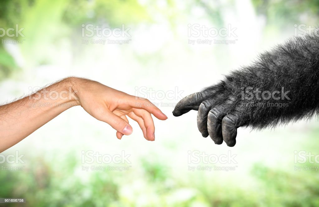 Human and fake monkey hand evolution from primates concept stock photo