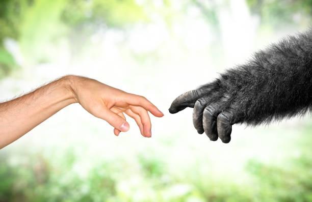 evolución de mano mono humano y falso concepto de primates - gorila fotografías e imágenes de stock
