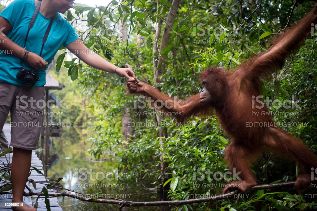Human and orangutan interacting at Tanjung Puting National Park, Borneo