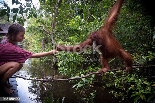 A visitor hands a banana to an orangutan at Tanjung Harapan, located inside Tanjung Puting National Park on the island of Borneo in Kalimantan, Indonesia.
