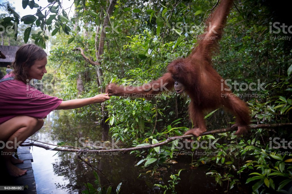 Homme et orang-outan interagissant dans le Parc National de Tanjung Puting, Bornéo - Photo