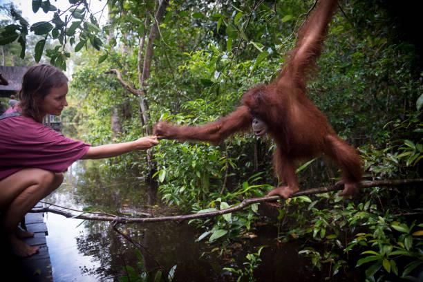 Human and orangutan interacting at Tanjung Puting National Park, Borneo A visitor hands a banana to an orangutan at Tanjung Harapan, located inside Tanjung Puting National Park on the island of Borneo in Kalimantan, Indonesia. island of borneo stock pictures, royalty-free photos & images