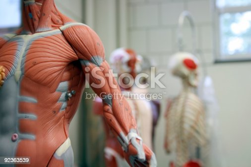 istock Human Arm and Torso of an Anatomical Model 92363539