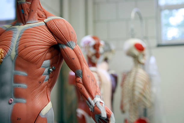 human arm and torso of an anatomical model - lichaamsdeel stockfoto's en -beelden