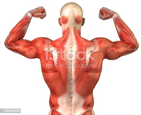 istock Human back muscular system posterior view isolated 155244530