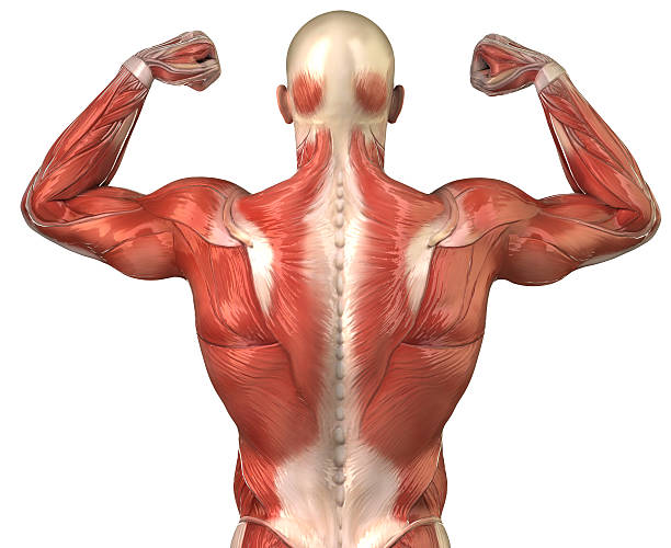 Human back muscular system posterior view isolated Body-builder with visible muscles janulla stock pictures, royalty-free photos & images