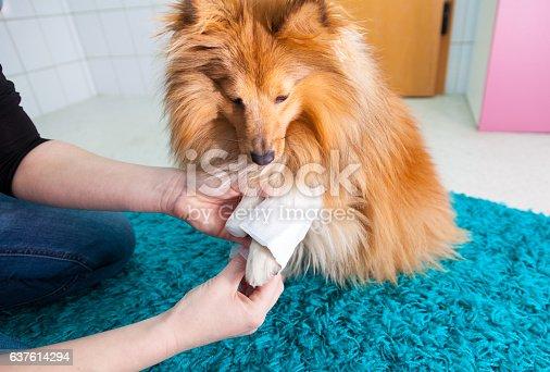 istock human bandage a shetland sheepdog in bathroom 637614294
