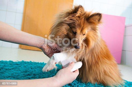 istock human bandage a shetland sheepdog in bathroom 637614988