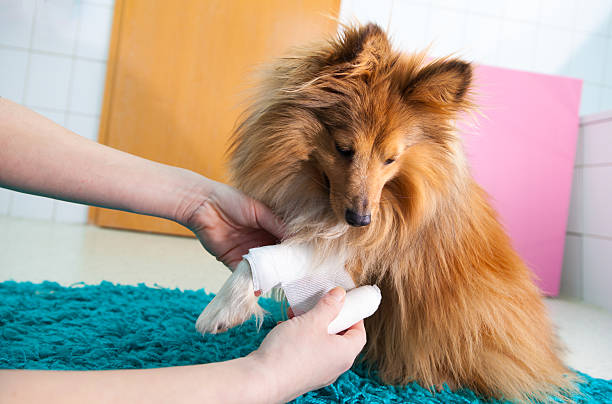 human bandage a shetland sheepdog in bathroom - medical dressing stock pictures, royalty-free photos & images