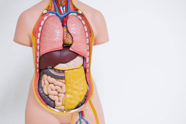 modelo anatômico do corpo humano no escritório - tronco termo anatômico - fotografias e filmes do acervo