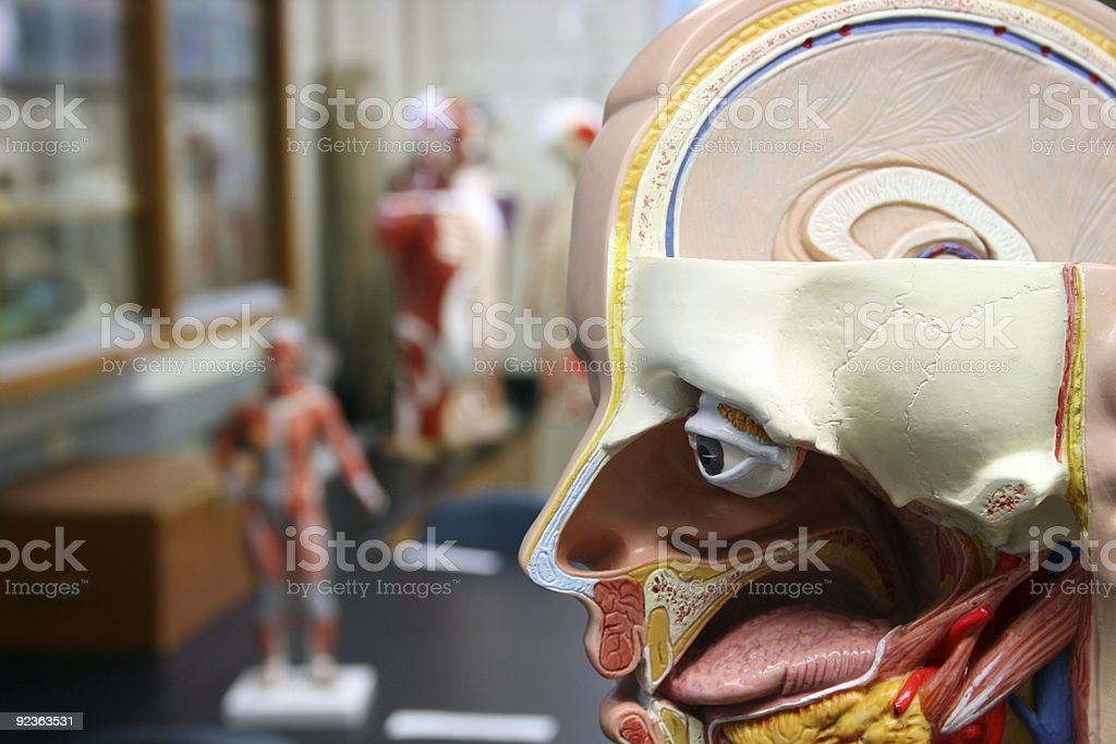 Human Body Anatomical Model royalty-free stock photo