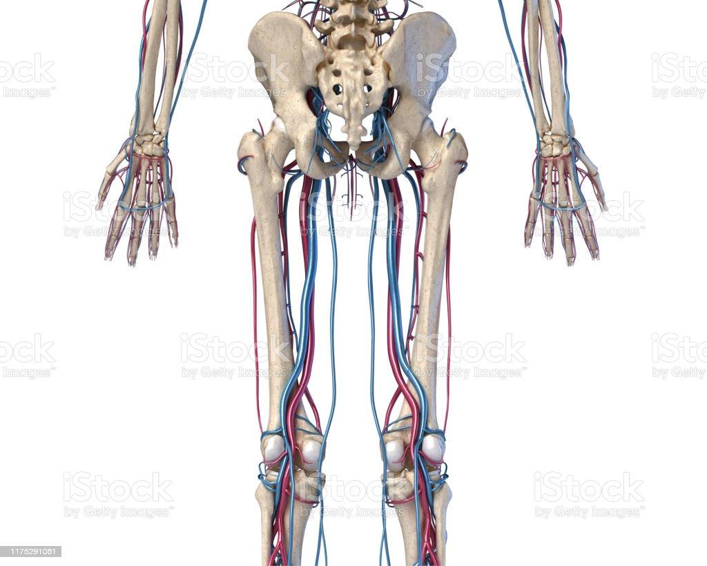 arterias y venas piernas