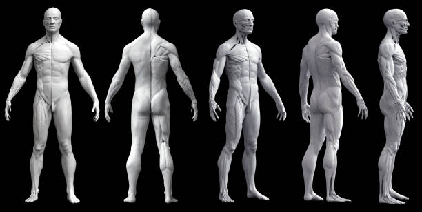 human body anatomy of a man - medical diagrams stock pictures, royalty-free photos & images