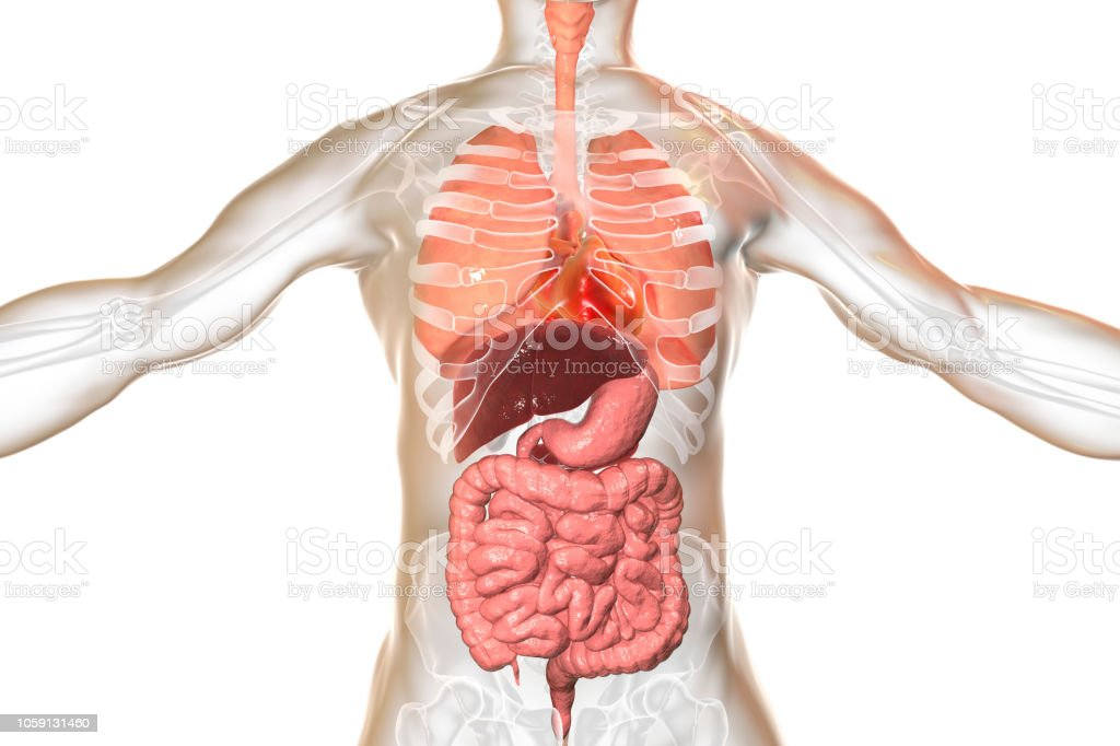 Human Body Anatomy Respiratory And Digestive System Stock Photo