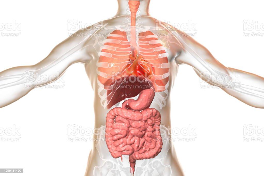 Human body anatomy, respiratory and digestive system stock photo