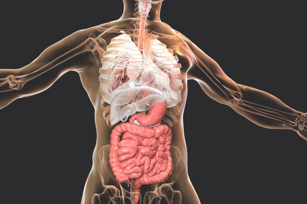 Human body anatomy with highlighted digestive system Human body anatomy with highlighted digestive system, 3D illustration internal organ stock pictures, royalty-free photos & images