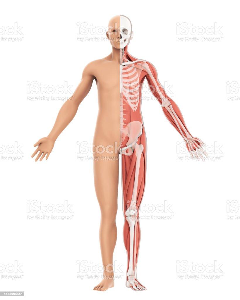 Menschlichen Körper Und Skelett Anatomie Isoliert Stock-Fotografie ...