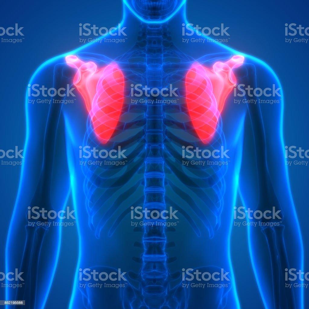 Cuerpo Humano Huesos Dolores En Las Articulaciones Anatomía ...