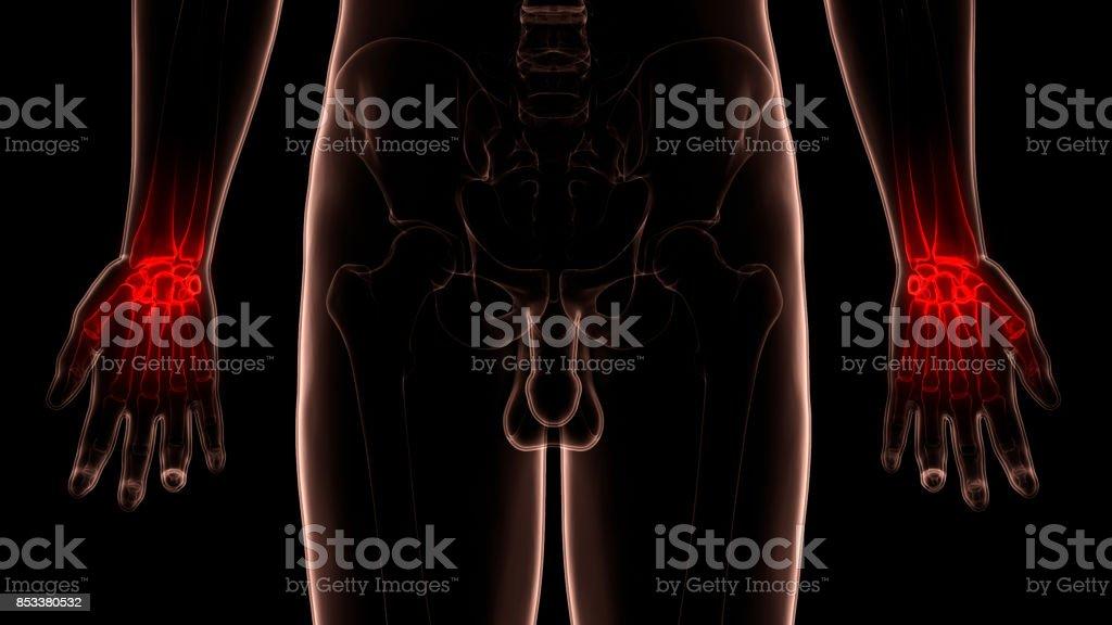 Menschlichen Körper Knochen Gelenkschmerzen Anatomie Stockfoto ...