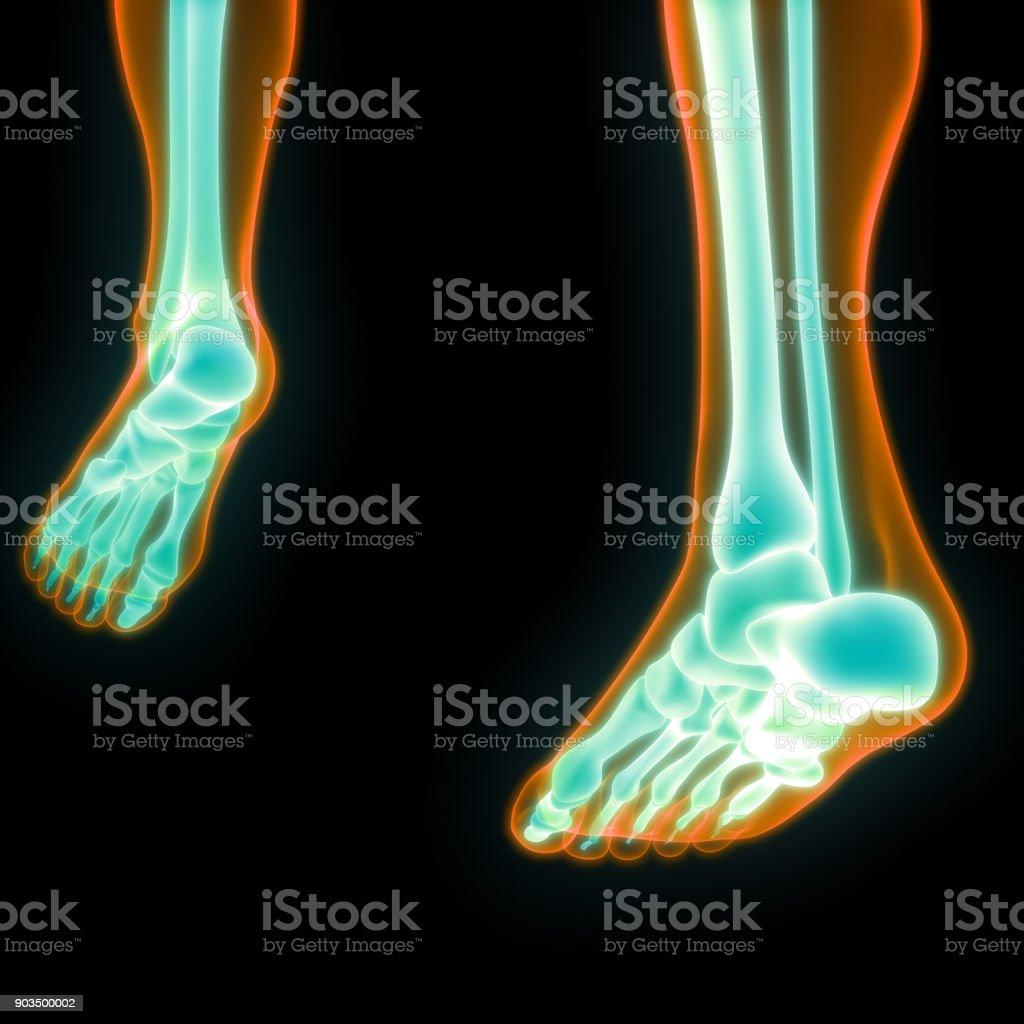 Human Body Bone Joint Pains Anatomy stock photo