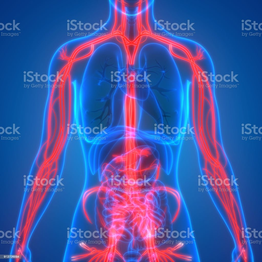 Human Body Circulatory System Anatomy stock photo