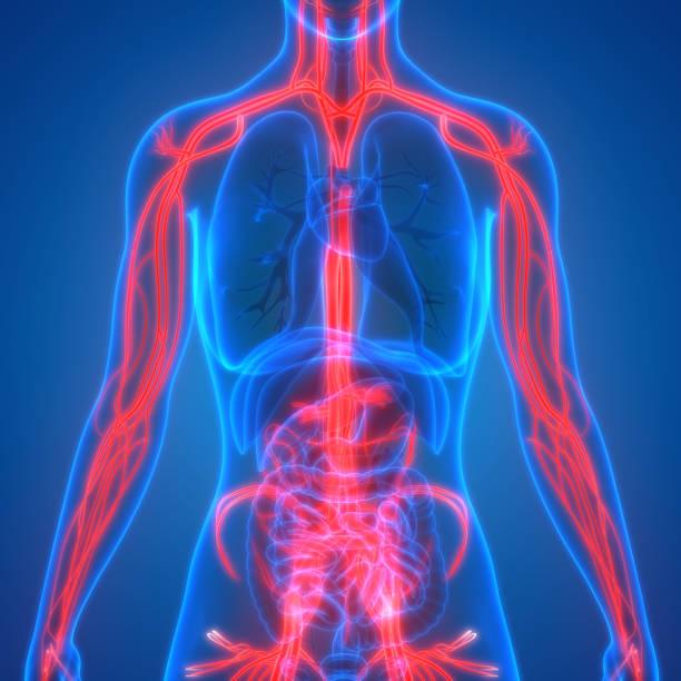 menschlichen körper kreislauf anatomie - herz lungen training stock-fotos und bilder
