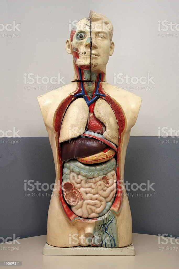 Human Body Doll Used In High School Stock Photo More Pictures Of