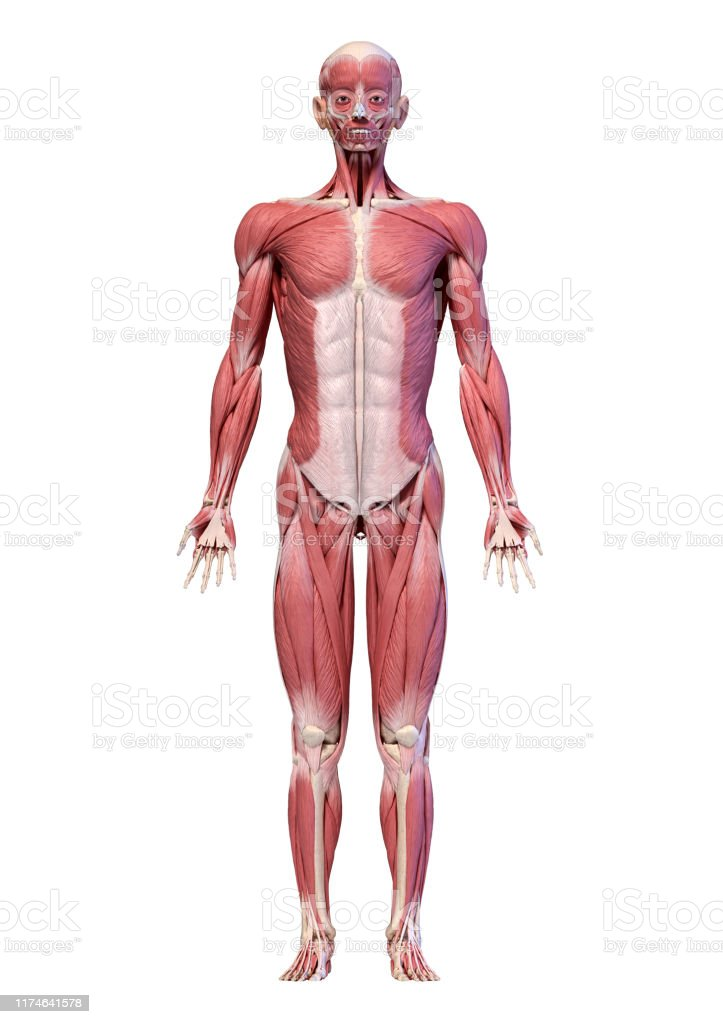 Human Body Full Figure Male Muscular System Front View ...