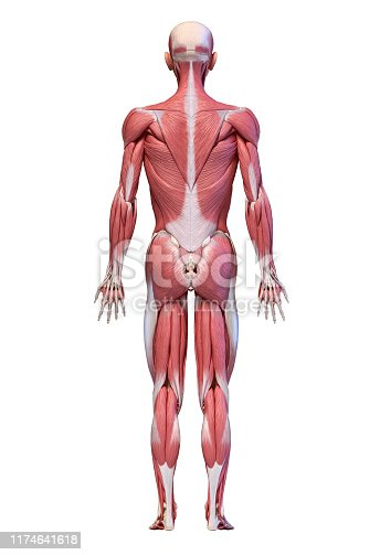 496193203istockphoto Human body, full figure male muscular system, rear view. 1174641618