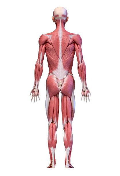 cuerpo humano, sistema muscular masculino de figura completa, vista trasera. - espalda humana fotografías e imágenes de stock