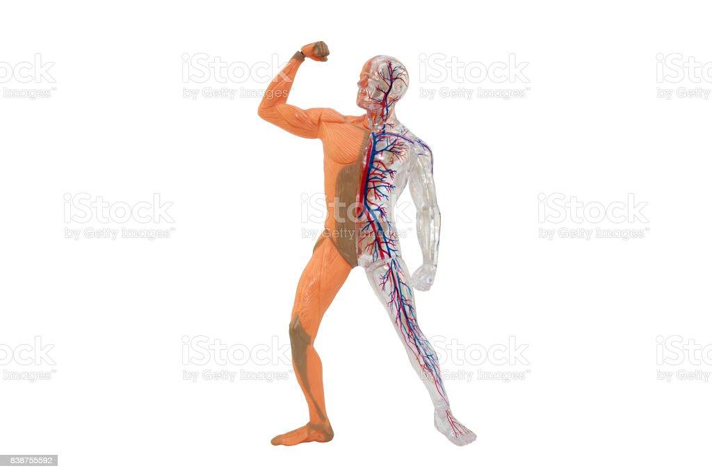 Human body full height anatomy stock photo