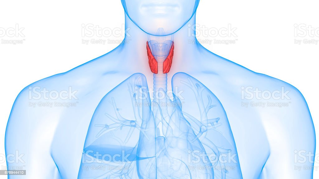 Human Body Glands Anatomy (Lobes of Thyroid Gland) stock photo