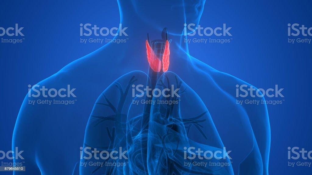 Fotografía de Anatomía De Las Glándulas Del Cuerpo Humano y más ...