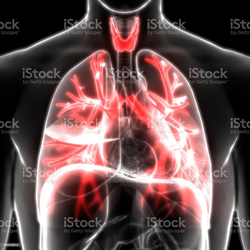 Human Body Glands Anatomy Stock Photo More Pictures Of Abdomen